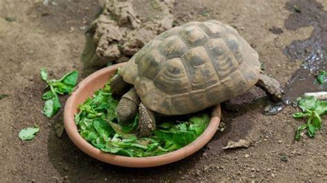 tartarughe alimentazione tutto sull alimentazione delle tartarughe di terra