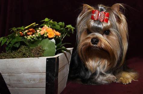 yorkshire terrier vereine zuechter vdhde