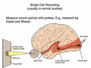 Ppt - Cognitive Neuroscience Powerpoint Presentation  Free Download