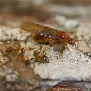 Prenolepis imparis, Winter Ant queen on Chinquapin trunk