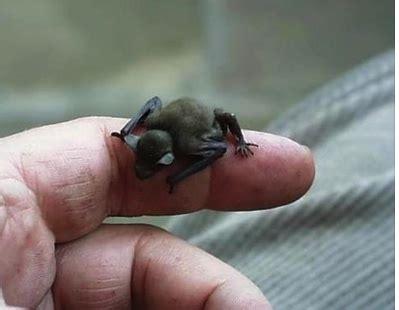 a bumblebee bat world s smallest mammal endangered