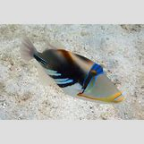 Reef Triggerfish | 1300 x 865 jpeg 877kB