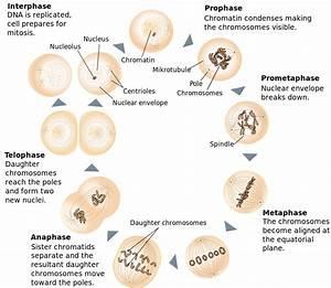 File Mitosis Schematic Diagram-en Svg