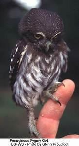 Ferruginous Pygmy Owls   Beauty of Birds