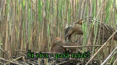 Lielais dumpis (Botaurus stellaris) - YouTube