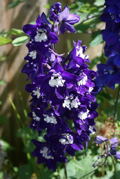 purple aquilegia deep purple aquilegia 2 free stock photo public domain pictures