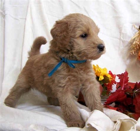 wheaten terrier mix shedding 17 best ideas about goldendoodle temperament on