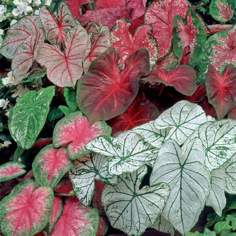 van zyverden caladiums fancy leaf mixed bulbs set
