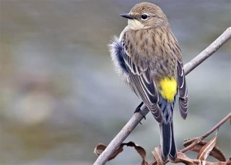 bird files yellow rumped warbler a smart forager the