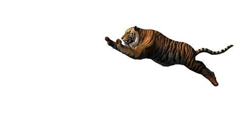 tiger roar stock footage video shutterstock