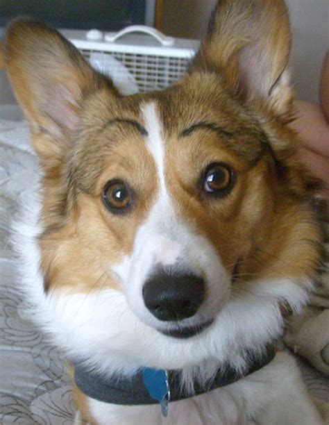 dogs  eyebrows  pics