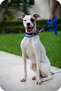 Miley | Adopted Dog | Ft. Myers, FL | Great Dane/American ...
