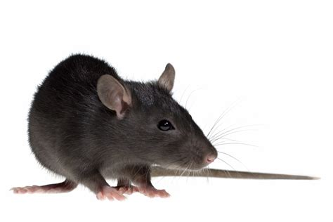 rat information  kids fun rodent facts  students