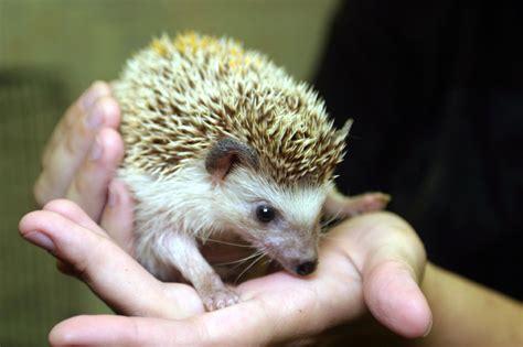 pygmy hedgehog 800px