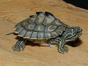 Yellow Blotched Map Turtle Baby | www.imgkid.com - The ...