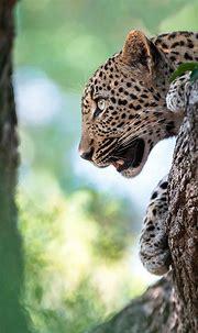 Full HD Mobile Wallpaper with Leopard's Head - HD ...