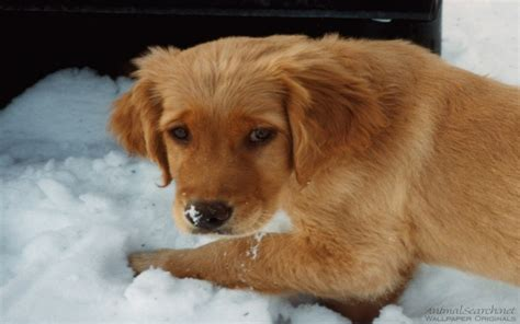 puppy pictures retriever puppy puppies wallpaper 13985532 fanpop
