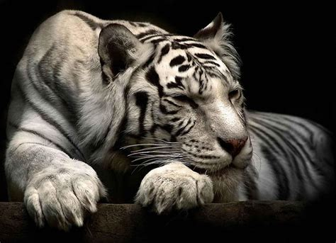 Best Animal Wallpapers - white siberian tiger wallpapers wallpaper cave