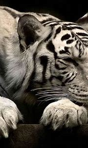 White Siberian Tiger Wallpapers - Wallpaper Cave
