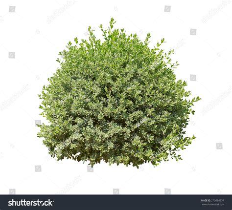 of bush green bush isolated on white background stock photo 270854237 shutterstock