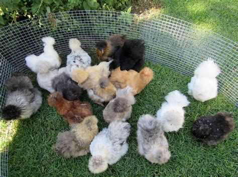 18 different silkie colours
