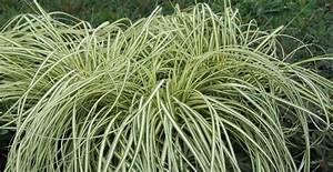 Carex Hachijoensis Evergold Pflege : artnr 40351 einfach stauden h ussermann ~ Lizthompson.info Haus und Dekorationen