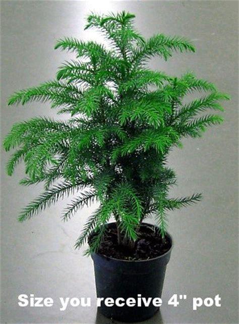 farmer s market online norfolk island pine christmas trees from medina ohio