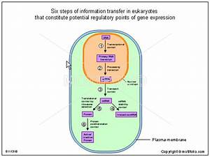 Six Steps Of Information Transfer In Eukaryotes That