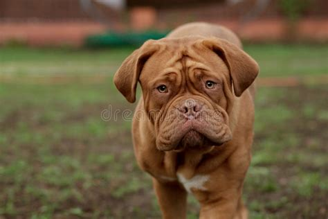 angry dog stock photo image  rottweiler dangerous