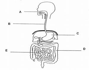 What Are The Parts Of The Alimentary Canal In Order