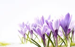 Purple Daffodil Flower