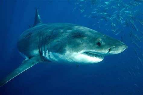 Great White Shark Hd Great White Shark Wallpaper Hd Download