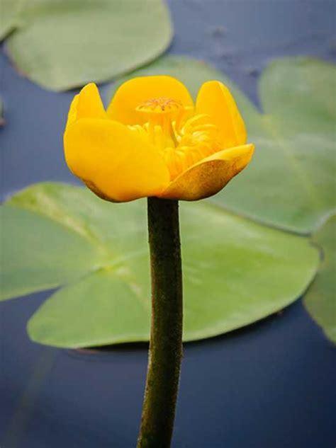 nuphar lutea gelbe teichrose heimische mummel guenstig