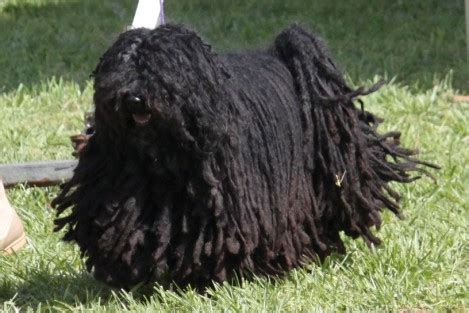 puli breed information puli images puli dog breed info