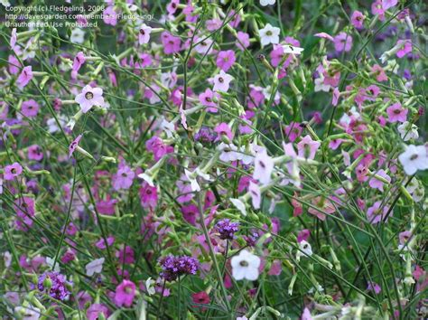 flowering tobacco plantfiles pictures flowering tobacco nicotiana mutabilis by fledgeling