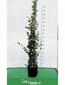 Gelsomino Trachelospermum Jasminoides