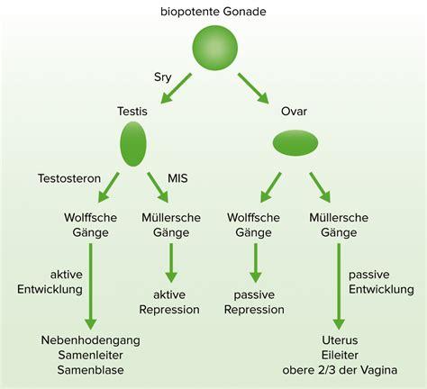 genitalentwicklung anatomische sexuelle differenzierung