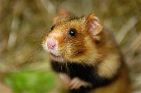 chambre d agriculture 29 reportage du paysan du haut rhin sur le grand hamster