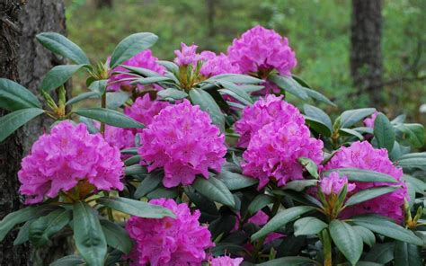 English Roseum(AKA Roseum Pink) | Rhododendrons Direct