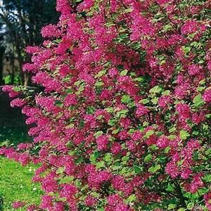 Rosa Blühende Bäume April : die besten 25 bl hende str ucher ideen auf pinterest wei bl hende str ucher bl hende b ume ~ Michelbontemps.com Haus und Dekorationen