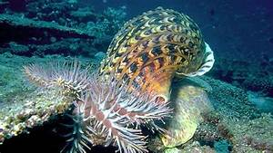 Sea-snail perfume may help save coral reefs - CNET
