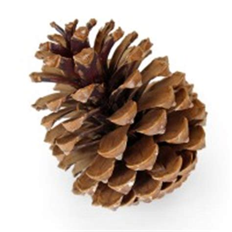 large natural pine cone pipii