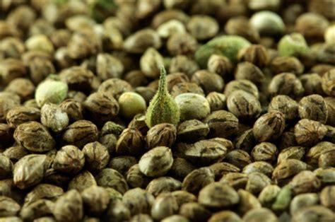 comment choisir ses graines de cannabis marijuana marijuana bio acheter marijuana bio