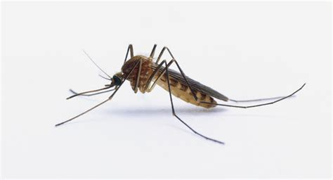 what is about mosquitoes natural mosquito repellents
