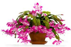 holiday plants asktheplantmaster