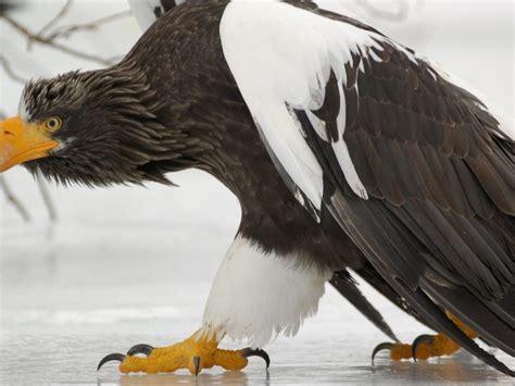 bold eagle bird winter snow ice desktop wallpaper hd