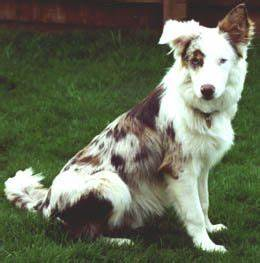 1000+ ideas about Red Merle Border Collie on Pinterest ...