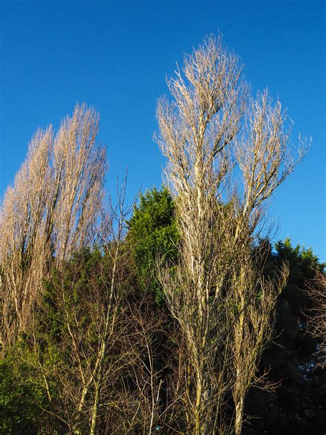 Winter poplars - Thoughts of Dawn