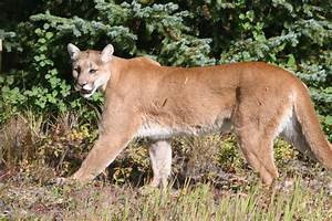 Cougar Lessons In Coexistence