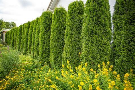 Sichtschutz Pflanzen Im Garten by Immergr 252 Ne Pflanzen Als Sichtschutz Meister Meister